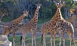 4 jirafas en la Sabana africana de Bioparc Valencia