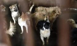 China sacrifica a miles de perros para el festival del horror (1)