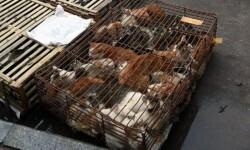 China sacrifica a miles de perros para el festival del horror (5)
