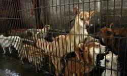 China sacrifica a miles de perros para el festival del horror (8)