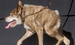 Este es Quasi Modo, el perro más feo del mundo (1)
