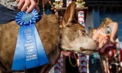 Este es Quasi Modo, el perro más feo del mundo (4)