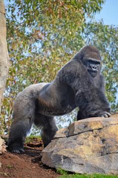 Experiencias Bioparc - Bioparc Valencia 2015 - el gorila Mambie