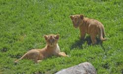 Los cachorros de leìon Kianga y Shango - Bioparc Valencia - 19 de junio 2015