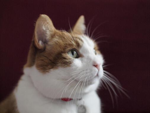 Los dueños de gatos no admiten que viven con un gran depredador