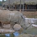 Mayayi - rinocerontes - Bioparc Valencia bj