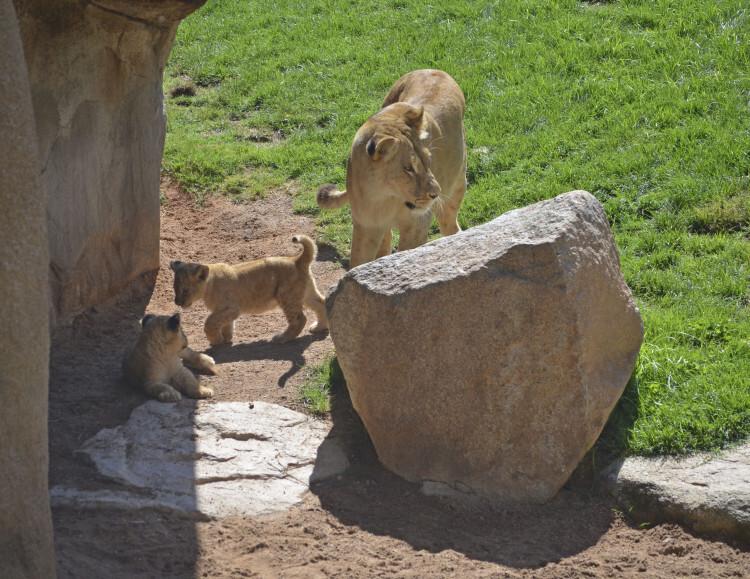 Nuevos cachorros de leoìn en la Sabana africana de Bioparc Valencia - junio 2015
