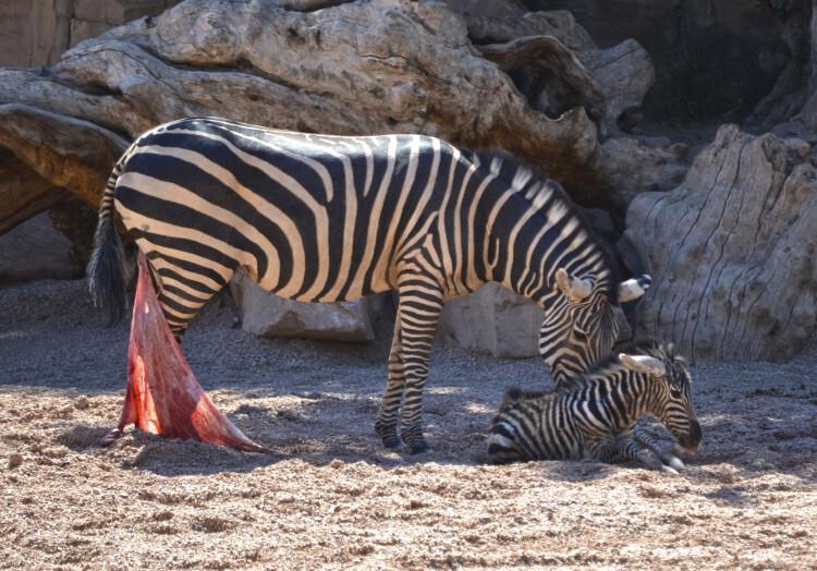 Primeros instantes de vida de una cebra recién nacida - Bioparc Valencia