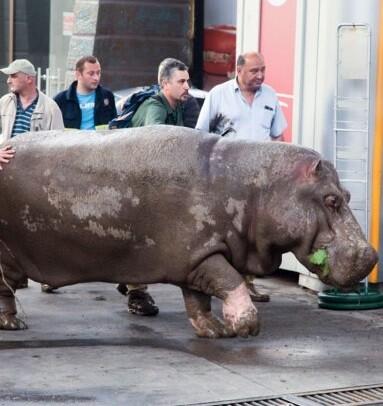 Un hipopótamo es conducido a una zona de protección.