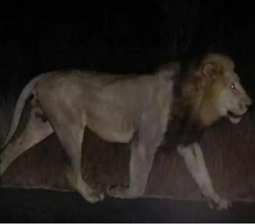 Un león pasea por las calles de Tiflis a la espera de ser capturado.