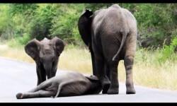 Elefantes socorren a una cría desfallecida en la carretera