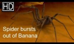 Video de araña que sale de un plátano, éxito en youtube