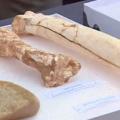 Atapuerca revela restos de cráneos de homínido de más de 400.000 años   Vídeos   Multimedia   SINC