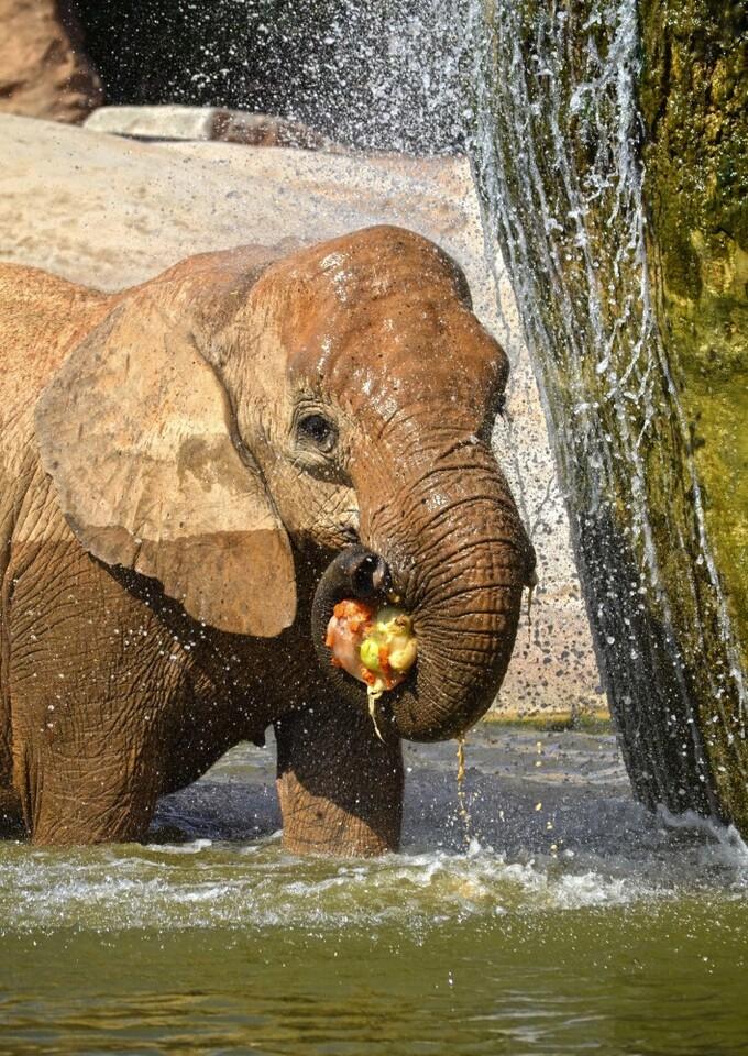BIOPARC Valencia - verano 2015 - elefante refrescándose con un helado de frutas y verduras