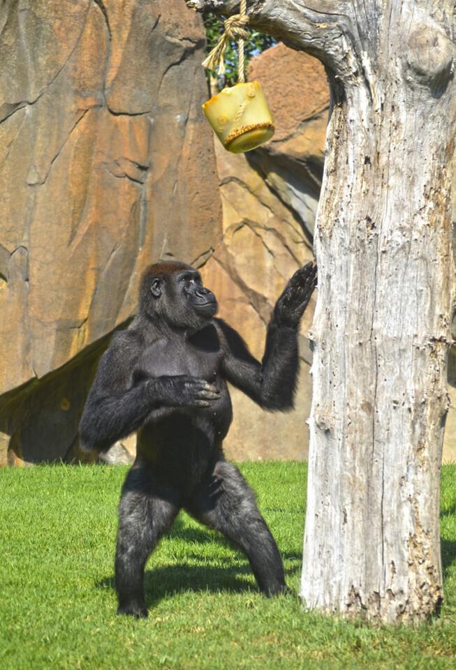 BIOPARC Valencia - verano 2015 - gorila encontrando uno de los helados de frutas