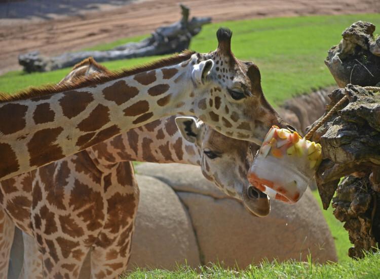 BIOPARC Valencia - verano 2015 - jirafas refrescándose con un helado de frutas y verduras