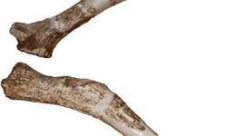 Descubren-una-nueva-especie-de-ciervo-gigante-que-vivio-hace-780.000-anos_image_380