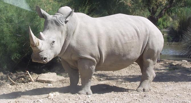 Ejemplar de rinoceronte blanco. / Wikipedia