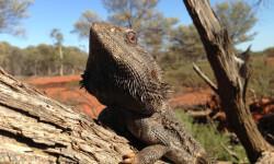 El-calentamiento-global-revierte-el-sexo-de-los-dragones-barbudos_image_380
