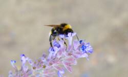 Un abejorro común (Bombus terrestris) en Nottingham (Reino Unido). / Jeremy Kerr