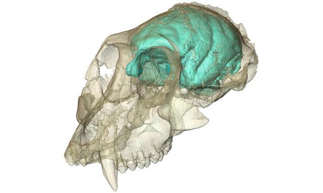 El-pequeno-pero-complejo-cerebro-de-los-monos-del-Viejo-Mundo_image_380