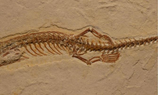 Imagen-de-las-patas-traseras-del-fosil-de-Tetrapodophis.-Dave-Martill_image671_405