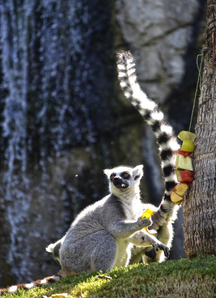 Lémur de cola anillada - Expedición África verano 2015 - BIOPARC Valencia