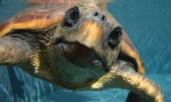 Las-tortugas-bobas-del-Atlantico-estan-menos-contaminadas-que-las-del-Mediterraneo_image_380