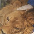 Una-segunda-vida-para-los-felinos-de-circo_image648_365