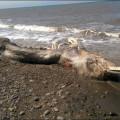 misteriosa-criatura-marina-con-pelo-y-pico-es-encontrada-en-playa-remota-y-desconcierta-los-cientificos 01