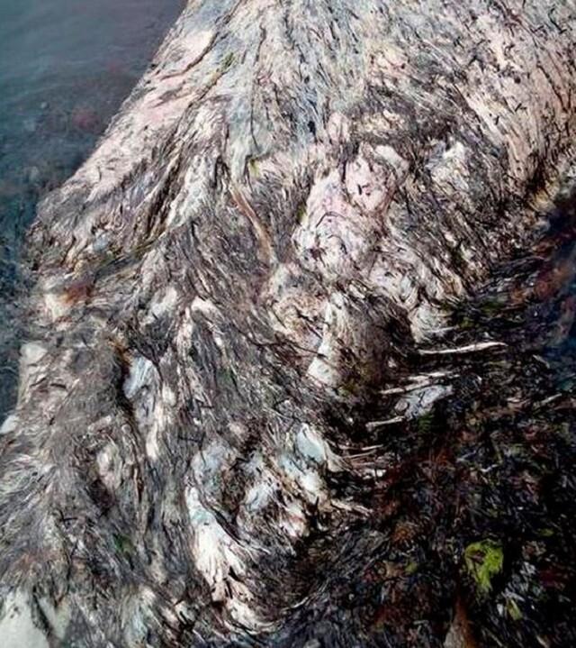 misteriosa-criatura-marina-con-pelo-y-pico-es-encontrada-en-playa-remota-y-desconcierta-los-cientificos 04