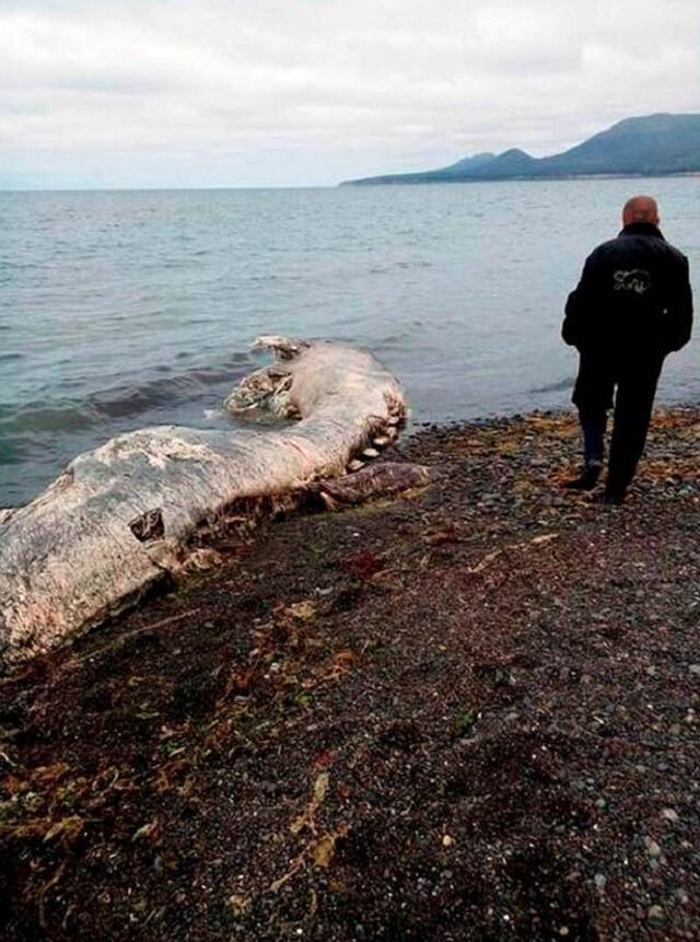 misteriosa-criatura-marina-con-pelo-y-pico-es-encontrada-en-playa-remota-y-desconcierta-los-cientificos