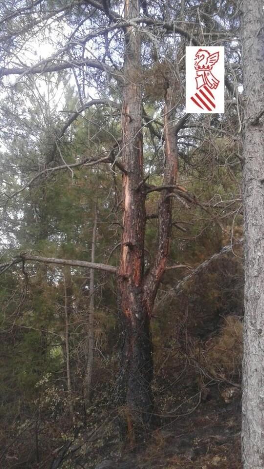 Pino sobre el que se observa el impacto del rayo origen del incendio forestal declarado este mediodía.