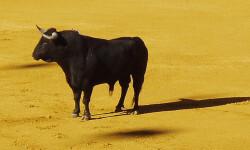 El-toro-de-lidia-tiene-una-informacion-genetica-en-el-cromosoma-Y-unica-en-el-mundo_image_380