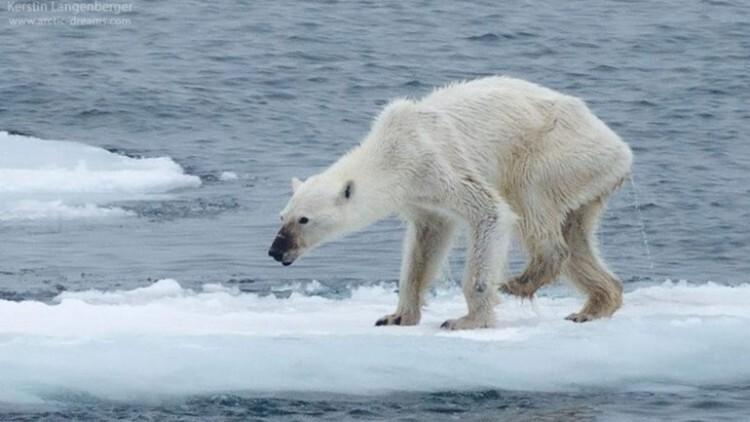Impactante imagen de una osa polar desnutrida en el Ártico