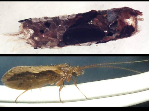 Arriba, la casa de pupación o canutillo realizado con granos del substrato en el que la larva se encierra para realizar la metamorfosis y convertirse en insecto adulto (abajo). / UGR.