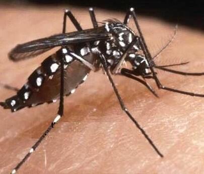 Mosquito Tigre, transmisor del virus del Chikungunya.