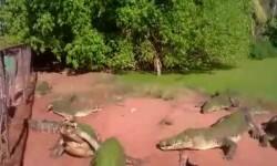 Un cocodrilo arrancó y comió la pata de un amigo
