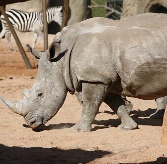 Un rinoceronte disfruta de un paseo por su zona.
