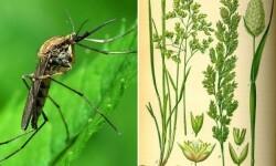 mosquito-y-odorata.jpg_35960795
