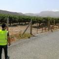 Detenidas cinco personas por robar 10 toneladas de limones de una finca de Alicante.