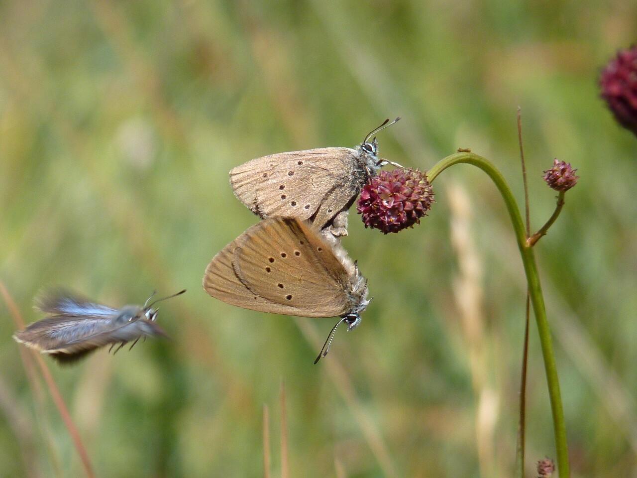 Mariposa hormiguera oscura_2