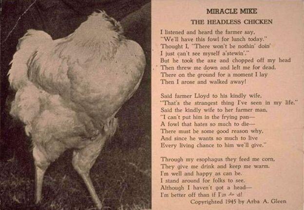 Mike, la historia del pollo que vivió un año y medio sin cabeza (3)