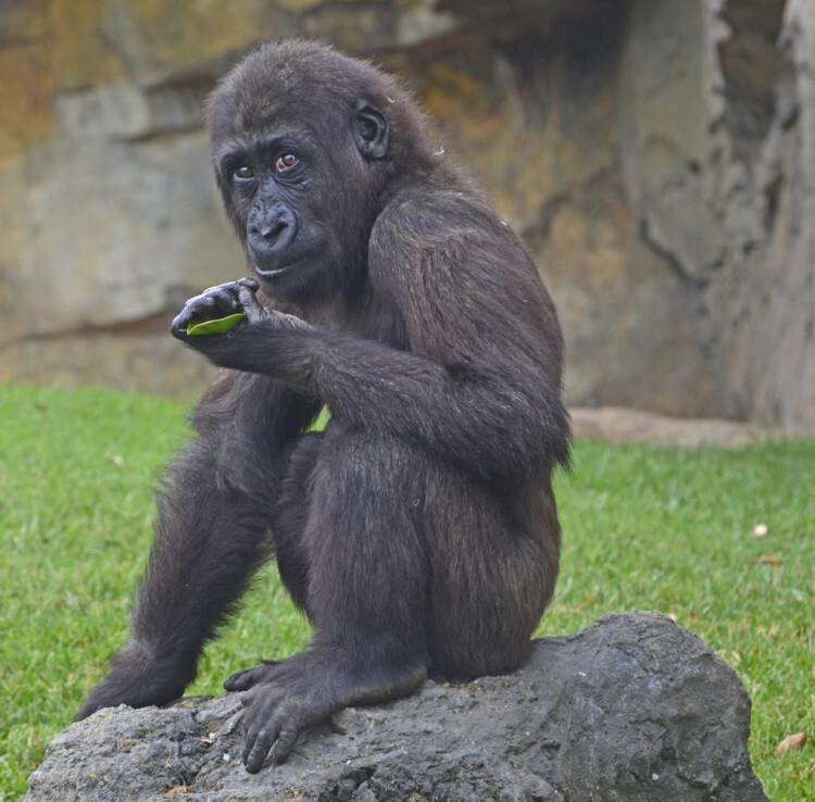 Proyecto EBO (gorilas). Proyecto incluído en BIOPARC Valencia.