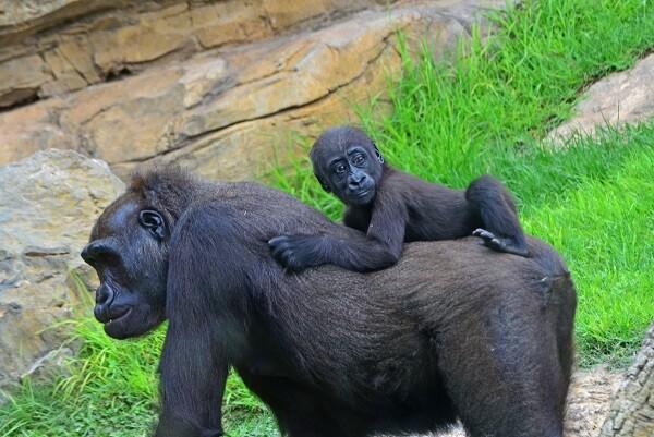 Bioparc regala entradas infantiles para celebrar el cumpleaños del gorila Ebo.