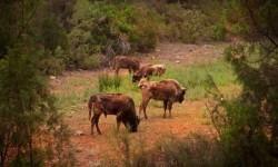 Capturan en Cuenca seis búfalos escapados de una reserva de Benagéber.