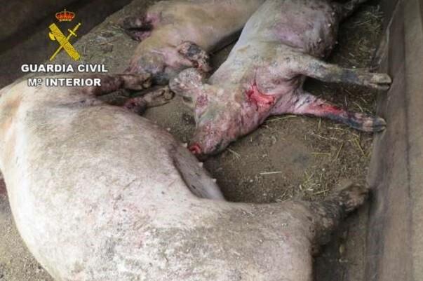 Detienen a un hombre por robar y matar tres cerdos en una granja de Castellón.