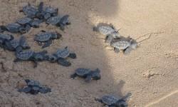 El Arca del Oceanogràfic acoge de nuevo tortugas marinas recién nacidas.