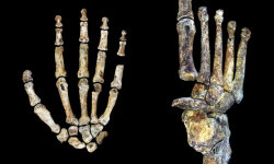 El-Homo-naledi-un-andarin-con-manos-modernas_image640_