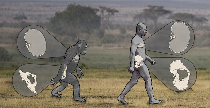El-andar-de-los-chimpances-indica-que-Lucy-caminaba-mejor-de-lo-que-se-creia_image_380